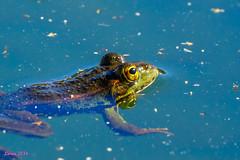 Un poco de ejercicio...:) (loriagaon) Tags: espaa plants naturaleza macro nature animals plantas frog galicia animales rana pontevedra loria loriagaon rx10lll sonyrx10lll sonydscrx10iii