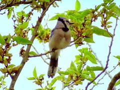 New York City Birds: Blue Jay (dimaruss34) Tags: newyork brooklyn dmitriyfomenko image bird bluejay