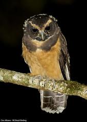 Tawny-browed Owl - murucututu-de-barriga-amarela - Pulsatrix koeniswaldiana