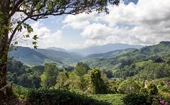 Boh tea plantation - Cameron Highlands (Ben Varley) Tags: cameron highlands malaysia tea teh plantation agriculture ipoh travel farming cameronhighlands hills beautiful vast
