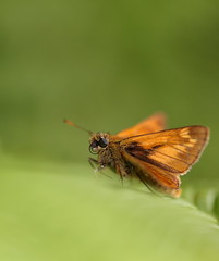 Large skipper (Mike Mckenzie8) Tags: ochlodes sylvanus british uk wild wildlife insect butterfly fern bracken canon macro green outdoor
