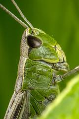 Chorthippus parallelus (Tom Rop) Tags: chorthippus parallelus criquet des ptures orthoptera acrididae insecte animal nature macro canon 600d sigma 105mm bokeh bague allonge