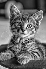 Keanu (sparkeyb) Tags: nikon d610 50mm f28 kitten cat cute feline playful tiny furry bigeyes fx fullframe