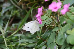 (*Ophelia89*) Tags: nature green butterfly insect flower