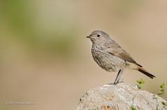 Redstart (Esmaeel Bagherian) Tags:       1395 2016  esmaeelbagherian nikond7000 tamron 150600mm tamron150600 birdsphotography birds birdwatching birdsofiran
