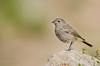 Redstart (Esmaeel Bagherian) Tags: اسماعیلباقریان پرندگان پرندگانایران پرنده پرندهنگری دمسرخ 1395 2016 پرندگانهزارمسجد esmaeelbagherian nikond7000 tamron 150600mm tamron150600 birdsphotography birds birdwatching birdsofiran