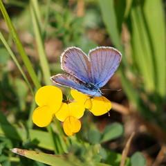 ezsts boglrka / silver-studded blue (debreczeniemoke) Tags: nyr summer rt meadow lepke butterfly ezstsboglrka hm silverstuddedblue male azurdelajonc petitargus geiskleebluling plebejusargus boglrkalepkk lycaenidae olympusem5