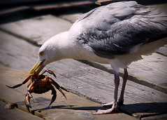 Breakfast at the harbor (Patricia McAtee - Photos of Maine) Tags: seagull portlandharbor fishingpiers fishing commercialfishing crab