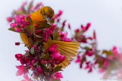 Female Oriole (Explored) (soupie1441) Tags: london ontario canada nikon d7200 7003000mm nikkor baltimore oriole female bird nature wild life wildlife orange blossom pink