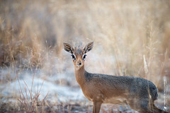 DSC_4312.JPG (manuel.schellenberg) Tags: namibia etosha animal nationalpark dikdik