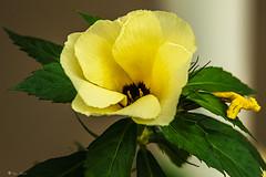 CALICE GIALLO    ----    CUP YELLOW (Ezio Donati) Tags: natura nature africa cameroun yaounde nikond810 fiori flowers macro colori giallo yellow verde green