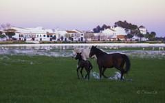 Pony going home (Osama Ali Photography) Tags: natura naturaleza nature espaa horse horses pony colt poni caballo marsh new born wildlife wild salvaje green verde baby