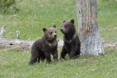 Grizzly cubs (Hammerchewer) Tags: grizzlybear bear cubs wildlife outdoor yellowstone animal
