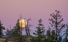 Moon & Pink Sky (Brenda Gooder) Tags: moon fullmoon trees sunrise sky pinksky nature landscape