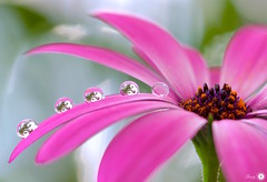 Lighting the world (Trayc99) Tags: pink flower capedaisy beautyinmacro beautyinnature beautiful macro droplets drops waterdrops reflection petals decorative delicate depthoffield