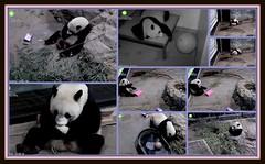 Bao Bao is 3 years old today! (heights.18145) Tags: baobao smithsoniansnationalzoo panda ccncby birthday baobaosbirthday bear happybirthday 3rdbirthday princesspinky