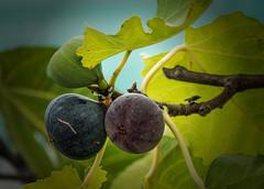 Figs (leonardcox304) Tags: figs