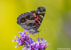 JSM_9729americanlady1jsm (JayEssEmm) Tags: americanlady american lady butterfly butterflies flower flowers towerhillbotanicgarden boylston massachusetts ma jsmcelvery mcelvery