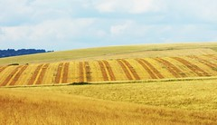 South Downs near Beachy Head (grassrootsgroundswell) Tags: southdowns fields eastsussex sussex cereals
