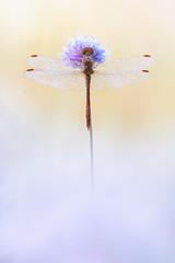 Gemeine/Große Heidelibelle (?) (MichaSauer) Tags: heidelibelle sympetrum libelle segellibelle odonata dragonfly darter common makro macro sunrise