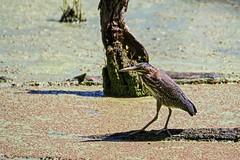 My Little Eye (brev99) Tags: colorefex greenheron oxleynaturecenter bird pond duckweed tamron70300vc d7100 tulsa highqualityanimals ngc perfecteffects10 ononesoftware