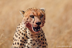 Bloody Cheetah (Usha Harish) Tags: masaimara wildlife wildlifesafari wildlifephotography animals africa africansafari savannah africansavannah africageographic kenya travelkenya kenyasafari canon5dmarkiii canon500mmisii bigcat bigcats predator