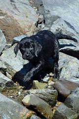 rock climber (bmullaney1) Tags: black labrador dog retriever lab