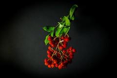 Rowan (Valery Parkhomenko) Tags: nikon d610 1855mm studio red green rowan berries branch black background nature still home constantlight