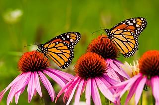 Double Monarchs