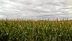 Endless rows (jkotrub) Tags: corn crops grow fall harvest plants clouds sky rows food green yellow grass summer