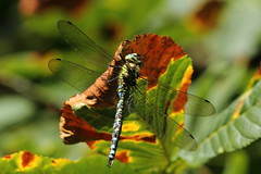 Southern Hawker. (david.england18) Tags: dragonfly horsechestnut smallbirds sapling southernhawker canon7d canonef300mmf4lisusm