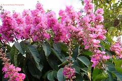 Crape Myrtle, Reseda, El Salvador (ssspnnn) Tags: crapemyrtle reseda lagerstroemiaindica lythraceae elsalvador orgullodeindia spnunes snunes nunes spereiranunes canoneos70d flores flor