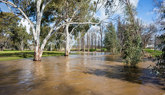 10 Mile Creek in flood (laurie.g.w) Tags: 10 mile creek flood holbrook nsw stream wet flooded bankfull country trees