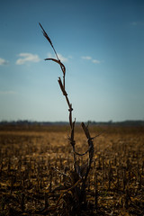 Left Behind. (Angela.Dee) Tags: cornstalk field harvest dirt corn bluesky one only leftbehind landscape horizon canon 6d 24105mml cy365 backlit