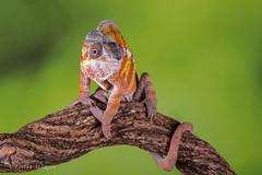 Panther Chameleon (Linda Martin Photography) Tags: pantherchameleon dorset wildlife bournemouth nature furciferpardalis reptile canon5dmarklll uk ngc npc coth