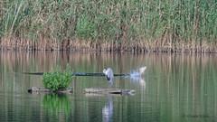 """Der Karpfen wollte wohl dem Graureiher nur """"Guten Tag"""" sagen. (Oerliuschi) Tags: fisch fischreiher graureiher teich wasser gewsser karpfen sprungausdemwasser schilf busch insel"""