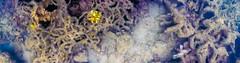 (Sepist) Tags: ocean sea panorama coral bay underwater philippines pacificocean inlet puertoprincesa palawan cnidaria hondabay sulusea mimaropa