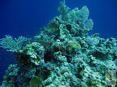 corals in the deep blue (kerstin_meyer) Tags: underwater redsea egypt diving gypten corals elgouna tauchen unterwasser rotesmeer korallen fcherkorallen