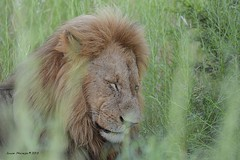 Male lion (Arno Meintjes Wildlife) Tags: africa park camp wallpaper holiday