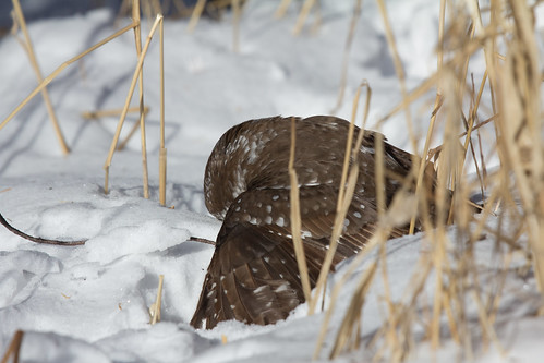 Boreal Owl with shrew