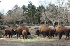 Fuji Safari Park (satoson) Tags: animal japan  shizuoka   fujisafaripark   canon5dmarkii