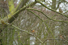 In the appletree - in de appelboom (AnneTanne) Tags: fringilla fringillamontifringilla montifringilla