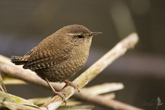 Scricciolo [Explored] (_milo_) Tags: italy bird canon eos italia tamron oiseau uccello oasi 70300 angera troglodytestroglodytes canneto 60d scricciolo bruschera