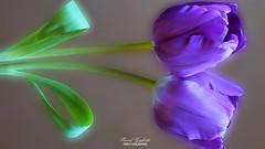 Purple reflection... (pascalou Gigliotti) Tags: flower reflection fleur lumix purple violet panasonic reflet tulip tulipe pascalou dmcfz48