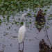 Snowy Egret in 40 Acre Lake