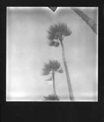 When the Wind Blows (Irene Stylianou) Tags: trees blackandwhite bw nature monochrome polaroid europe song cyprus palmtrees instant instantcamera polaroid600 davidbowie impossible larnaca instantphotography songlyrics polaroidonestep onestep px larnaka polaroidonestep600 polaroidcamera blackandwhitefilm instantfilm onestep600 blackframe polaroidfilm sooc whenthewindblows   silvershade theimpossibleproject px600 impossibleprojectfilm impossiblepx600 irenestylianou blackandwhiteinstant px600silvershadeuvblackframe