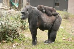 2013-03-07-10h02m31.272P1618 (A.J. Haverkamp) Tags: amsterdam dierentuin httpwwwartisnl artis thenetherlands gorilla pobrotterdamthenetherlands dob03061985 shambe pobamsterdamthenetherlands dob04092011 canonef70200mmf28lisusmlens zoo shindy sindy