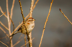 Cute Sparrow! (Rick Smotherman) Tags: wood winter stpeters nature water field birds canon landscape outdoors march morninglight pond hiking sparrow 7d songbirds canon7d canon14teleconverter lakeside370