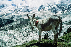 Donkey with Red Flower in front of Minapin Glacier, Hunza Valley, Pakistan (Cyrille Gibot) Tags: pakistan mountain mountains color colour animal horizontal landscape asia donkey glacier karakoram himalaya hunza northernareas grazing snowcovered hunzavalley snowcappedkmountain