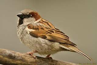 Pardal-comum / Passer domesticus / House sparrow
